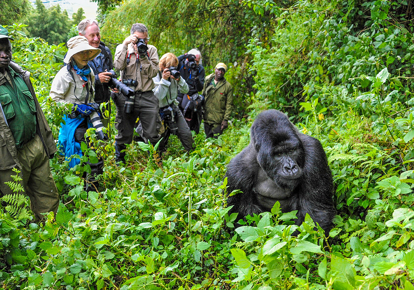 Wild Planet Adventures has just acquired a rare four hour Gorilla Habituation Permit in Uganda, quadrupling the amount of time travelers can spend with the gorillas.