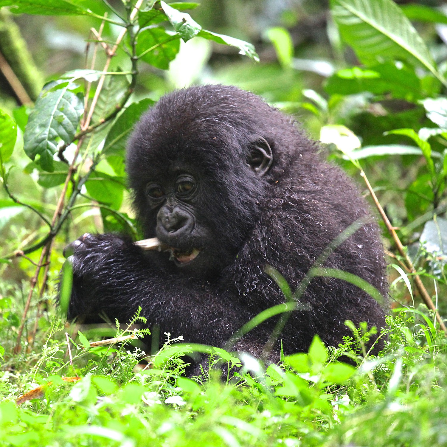Encounter some of the last remaining mountain gorillas in the world on a Gondwana EcoTours trek into the lush forests of Rwanda  (photo: Gondwana EcoTours)